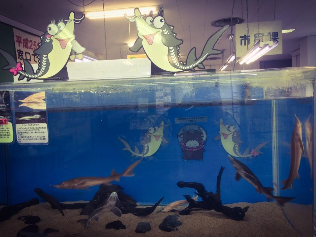 元気に受付前で泳ぐチョウザメたち